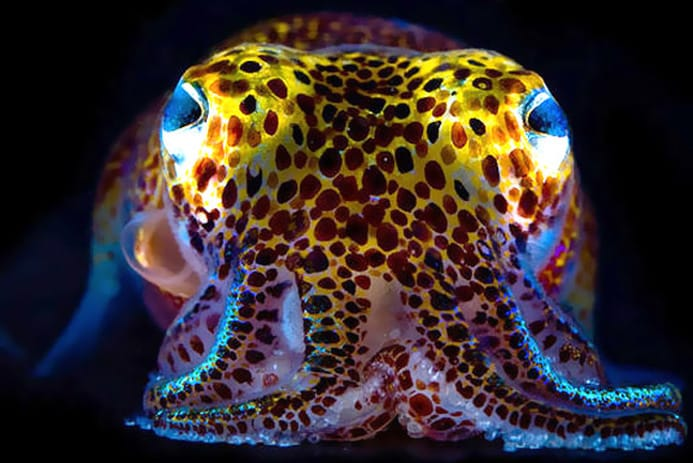 Photography by Mattias Ormestad http://voices.nationalgeographic.com/2013/06/25/glowing-bacteria-control-squid-hosts/